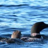 Loons from the Lake