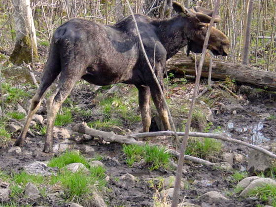 Route 17 Moose