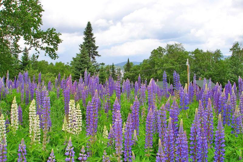 Lupine Flowers in June