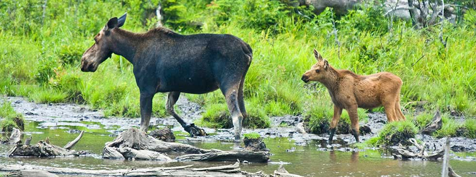 Cow Moose and baby grazing